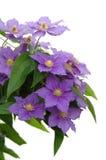 пурпур clematis Стоковые Фото