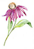 пурпур coneflower Стоковые Фото