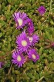 пурпур disphyma crassifolium dewplant стоковые изображения