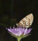 пурпур fritillary цветка бабочки Стоковые Фотографии RF