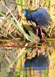 пурпур gallinule Стоковое Изображение