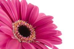 пурпур gerbera стоковые фото