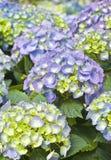 пурпур hydrangea Стоковое Изображение