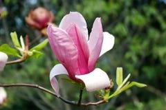 пурпур magnolia Стоковая Фотография RF