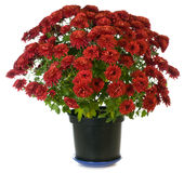 пурпур n flowerpot хризантемы Стоковое Фото
