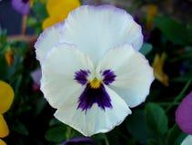 Пурпур & Pansy с желтым центром (цветок) Стоковое Изображение