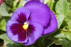пурпур pansy Стоковые Изображения