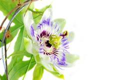 пурпур passionflower Стоковая Фотография RF