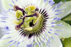 пурпур passionflower Стоковое Изображение