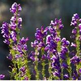 пурпур pentstemon Стоковая Фотография RF