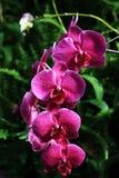 пурпур phalaenopsis цветка Стоковые Фотографии RF