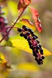 пурпур phytolacca decandia ягод Стоковое фото RF