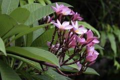 Пурпур Plumeria Стоковые Фотографии RF