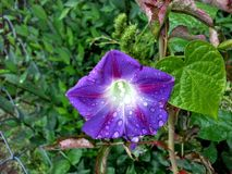 Пурпур Rainkissed Стоковое фото RF