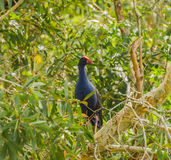 Пурпур swamphen в дереве paperbark Стоковые Фото