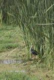 Пурпур swamphen в тростниках, озере Manyara, Танзании Стоковое Изображение RF