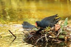 Пурпур swamphen птица Стоковое фото RF