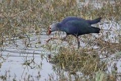 Пурпур swamphen что прогулки в мелководье и питаниях на ste Стоковые Изображения RF