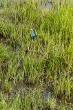 пурпур swamphen Стоковые Фото