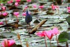 пурпур swamphen Стоковое Изображение RF