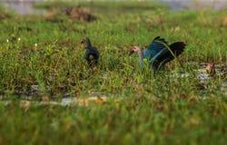 пурпур swamphen Стоковые Фотографии RF
