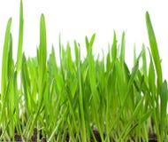 пускает ростии пшеница Стоковое Изображение
