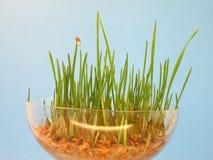 пускает ростии пшеница Стоковое Изображение RF