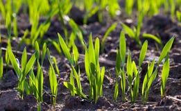 пускает ростии пшеница Стоковое Фото