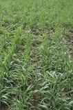 пускает ростии пшеница Стоковые Изображения