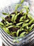 пускает ростии томаты Стоковое Изображение