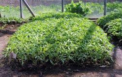 Пускает ростии томат в оранжерее Стоковые Фото