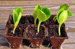 пускает ростии zucchini Стоковые Фотографии RF