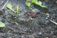 Пускайте ростии с красными листьями на черной земле Стоковые Фотографии RF
