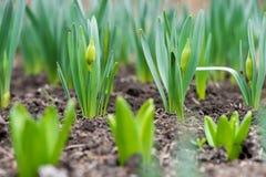 Пусканная ростии весна цветет daffodils в предыдущем саде весны Стоковое Изображение