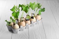 Пусканные ростии всходы заводов в eggshell на деревянной предпосылке Яичка внутри рециркулируют пакет kraft стоковые изображения rf
