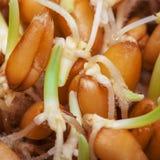 Пусканные ростии зерна крупного плана пшеницы стоковое фото