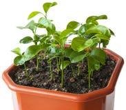 Пусканные ростии семена мандарина Стоковая Фотография