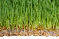 Пусканные ростии семена пшеницы с прессформой на корнях стоковые фото