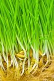 пусканный ростии овес зерен Стоковые Фото