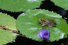 пусковая площадка лилии лягушки Стоковые Фотографии RF