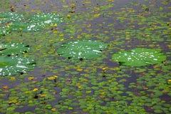 пусковая площадка лилии предпосылки Стоковое фото RF