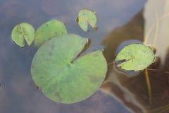 Пусковая площадка лилии Стоковые Фотографии RF