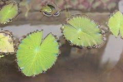 Пусковая площадка лилии Стоковая Фотография RF