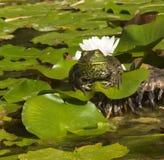 пусковая площадка лотоса лягушки Стоковые Фотографии RF
