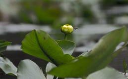 Пусковая площадка лилии цветка Spatterdock желтая, охраняемая природная территория соотечественника болота Okefenokee Стоковая Фотография