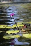 Пусковая площадка лилии Стоковые Фото