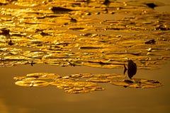 Пусковые площадки лилии в золотом свете захода солнца стоковое фото