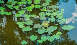 Пусковые площадки лилии в озере Техасе Caddo стоковое изображение rf