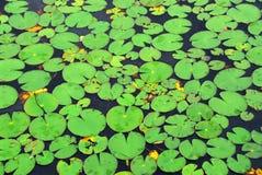 пусковые площадки лилии предпосылки Стоковые Фото