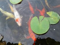 Пусковые площадки лилии рыбного пруда Koi стоковое изображение rf